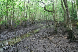 Mangrove swampland in Cape Tribulation