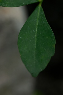 Murraya paniculata has leaves with cuneate (wedge-shaped) bases.