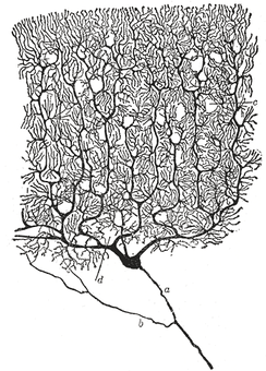Drawing of a Purkinje cell in the cerebellar cortex done by Santiago Ramón y Cajal, demonstrating the ability of Golgi's staining method to reveal fine detail