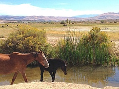 Reno Nevada and the Truckee Meadows south west of the Reno Tahoe International Airport has a large herd of Mustang horses.  These horses nurse and range around the runoff of Steamboat Creek.  The Mustang is a notable iconic image of the Nevada range land which includes Reno.