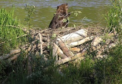 Some rodents, like this North American beaver with its dam of gnawed tree trunks and the lake it has created, are considered ecosystem engineers.
