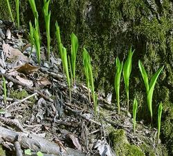 Convallaria majalis IP0404087.jpg