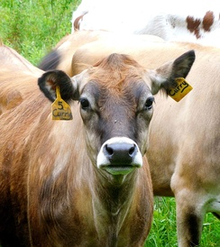 Ear postures of cows are studied as indicators of their emotional state and overall animal welfare.[64]