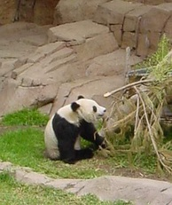 Bamboo is the main food of the giant panda, making up 99% of its diet.