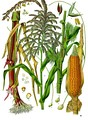 Illustration depicting both staminate and pistillate flowers of maize (Zea mays)