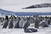 Penguins huddling in the Antarctic