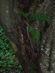 European beech with unusual aerial roots in a wet Scottish glen: The tree also sports an epiphytic fern.