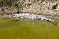 A saltwater crocodile in the Sundarban Crocodile Breeding Center
