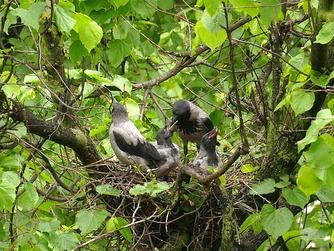 Ворона кормит выросших птенцов