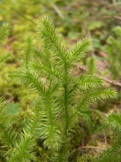 Lycopodium clavatum subsp.clavatum