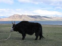 Як в Монголии