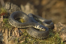 Lithuanians previously kept žaltys (grass snakes) as pets in their homes, who were considered holy and hunted mice.[159]