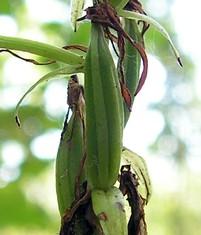 Platanthera bifolia20090812 027-3.jpg