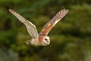 BARN OWL FLIGHT.jpg