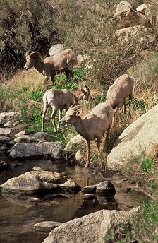 Bighorn sheep at Palm Canyon in Anza-Borrego State Park.