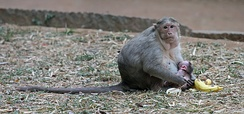 A crab-eating macaque breastfeeding her baby