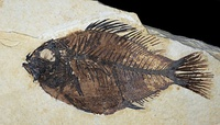 Eocene fossil fish Priscacara liops from the Green River Formation of Wyoming