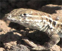 The side-blotched lizard effectively uses a rock-paper-scissors mating strategy