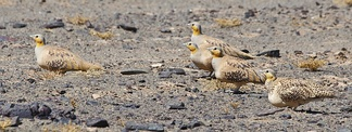Spotted Sandgrouse in the desert at Erg Chebbi