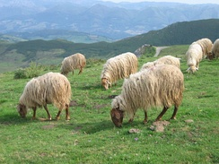 Asturian sheep on Picos de Europa