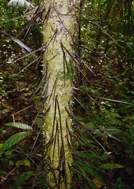 """Root spines"" on the trunk of a Cryosophila species."