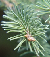 Leaves of the White Spruce (Picea glauca) are needle-shaped and their arrangement is spiral