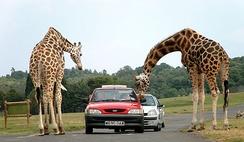 Жирафы в сафари-парке Уэст-Мидленд, Вустершир, Англия