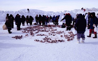 Sharing of frozen, aged walrus meat among Inuit families