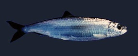 The adult herring, Clupea harengus, is a typical silvered fish of medium depths, camouflaged by reflection.