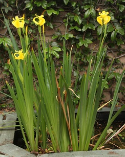 Iris pseudacorus has clearly ensiform leaves: narrow, straight-edged, sword-shaped.