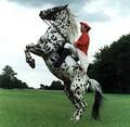 Чубарая лошадь породы кнабструппер