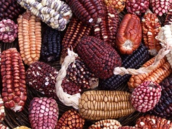 Many varieties of Peruvian maize (corn) were well-known to the Incas for centuries