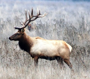 Tule elk roam the Diablo Range and are often seen on Coyote Ridge from U.S. Highway 101 - courtesy Bill Leikam