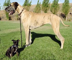 This Chihuahua mix and Great Dane shows the wide range of dog breed sizes created using selective breeding.