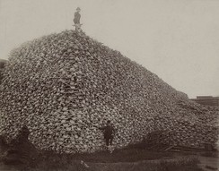 Photo from the 1870s of a pile of American bison skulls waiting to be ground for fertilizer.
