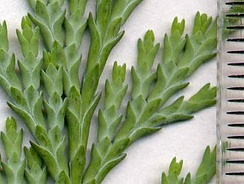 Cupressaceae: scale leaves of Lawson's Cypress (Chamaecyparis lawsoniana); scale in mm