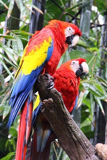 Scarlet macaws at Discovery Island
