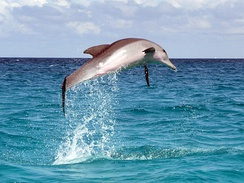 A dolphin in the Indian Ocean, off the coast of Zanzibar