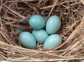 Кладка яиц обыкновенного скворца