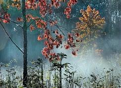 Клён с красными листьями в утреннем тумане. Западная Эстония