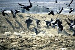 Вороны ищут пропитание на свалке
