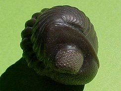 Phacopid trilobite Eldredgeops rana crassituberculata. The genus is named after Niles Eldredge.