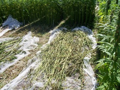 Hemp being harvested