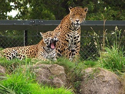 Jaguars at Chester Zoo