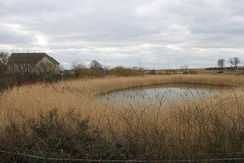 Suds pond with reed-bed near housing, Dunfermline, Scotland.