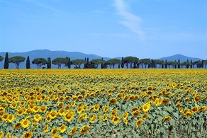 Sunflower field in Maremma