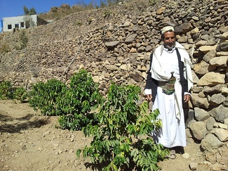 A coffee plantation in North Yemen