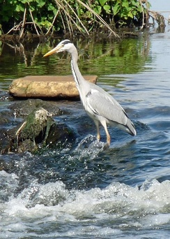 Grey heron fishing in the Trent