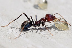 Meat ant workers (always female) are related to a parent by a factor of 0.5, to a sister by 0.75, to a child by 0.5 and to a brother by 0.25. Therefore, it is significantly more advantageous to help produce a sister (0.75) than to have a child (0.5).