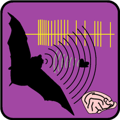 Echolocation in bats is one model system in neuroethology.
